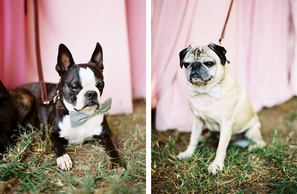 © Sarah Der Photography | Daily Dog Tag | Boston-Terrier-bow-tie, Pug-bow-tie