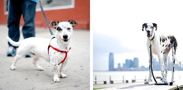 © The Dogist | Daily Dog Tag | Heeler/Corgi/mix, Great-Dane
