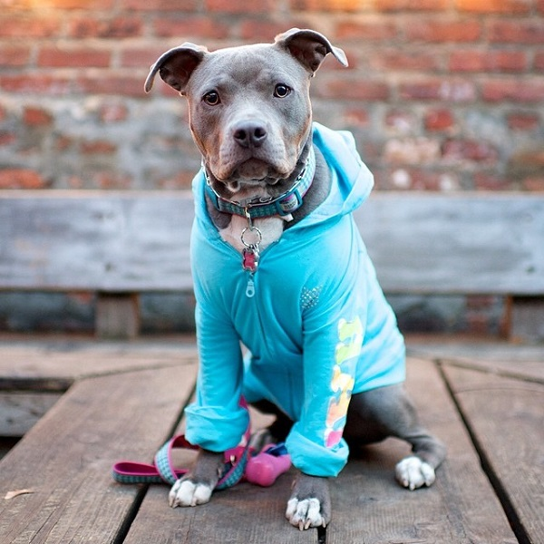 © The Dogist | Daily Dog Tag | Lovely-Pit-Bull