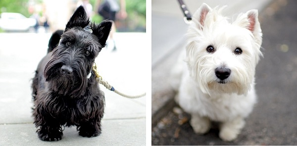 © The Dogist | Daily Dog Tag | Scottie, Westie