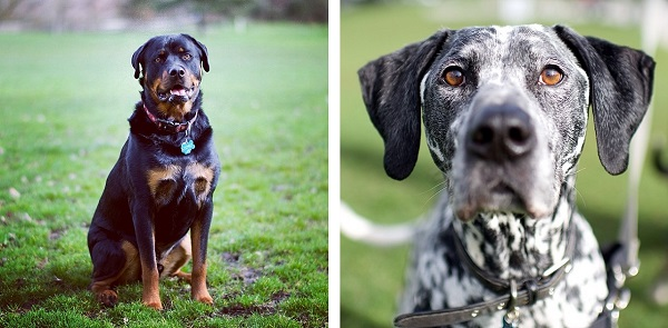 © The Dogist | Daily Dog Tag |Rottweiler, Dalmatian/Pointer Mix