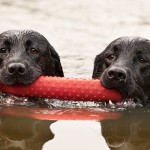 © Fido Photography, Labs-swimming-with-