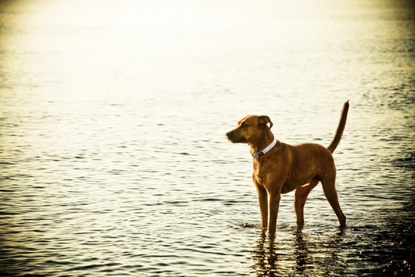 © Barnwood + Brick | Daily Dog Tag | Rhodesian-Ridgeback-at-beach