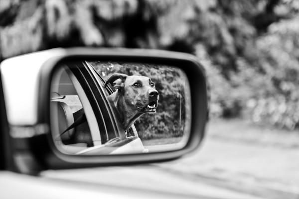 © Barnwood + Brick | Daily Dog Tag | Rhodesian-Ridgeback-in-car