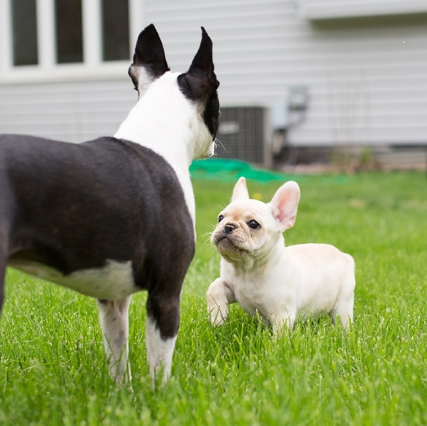 © Angelina Faye Photography | Daily Dog Tag |Frenchton-puppy-Boston-Terrier