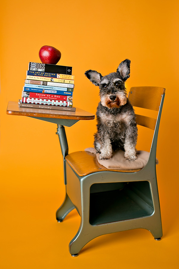 © April Ziegler Photography | Daily Dog Tag | Schnauzer-is-ready-for-school