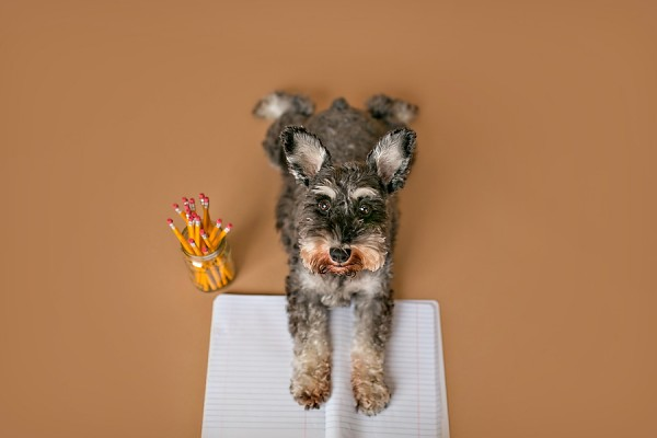 © April Ziegler Photography | Daily Dog Tag | Back-to-School-Miniature-Schnauzer,