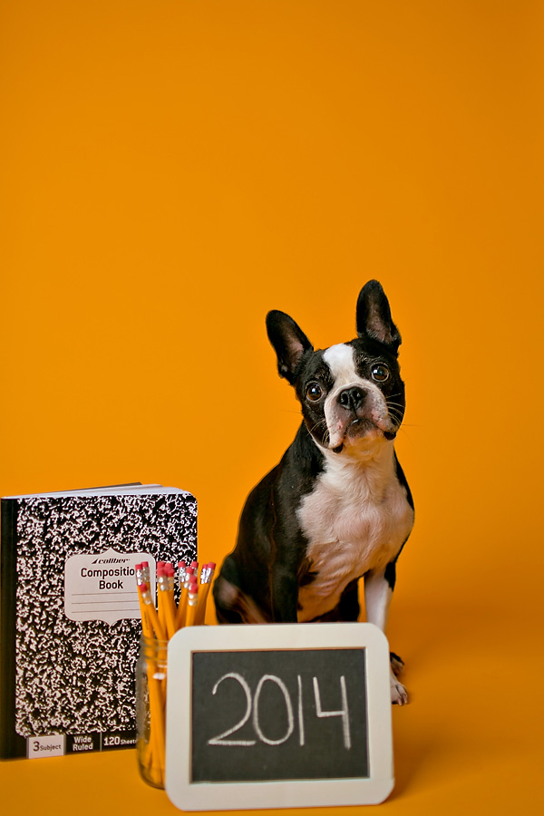© April Ziegler Photography | Daily Dog Tag | Back-to-School-Boston-Terrier-2014, Philly-studio-dog-photography