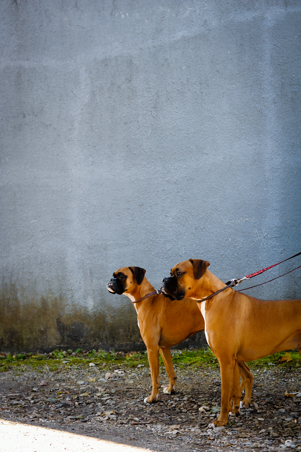 © Origin Photo | Daily Dog Tag | Boxer-BFFs