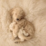 7 week goldendoodle puppy