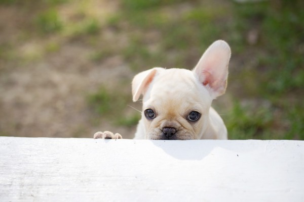 © Angelina Faye Photography | Daily Dog Tag | French-Bulldog/Boston-Terrier- puppy- climbing-stairs