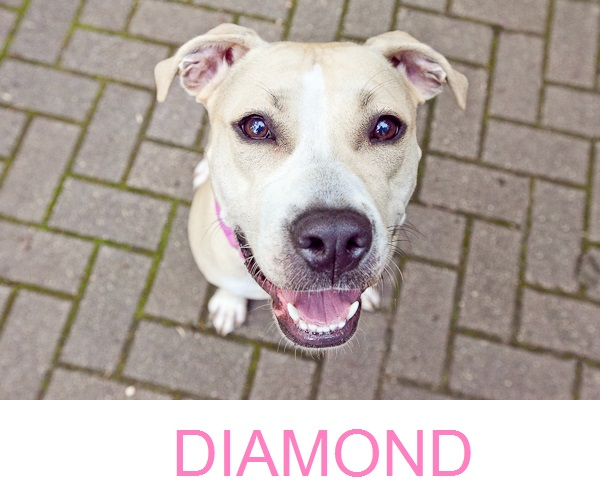 Adoptable-Dog-from-Minnesota-Pit-Bull-Rescue