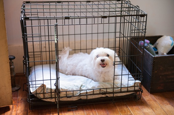 Maltese in crate