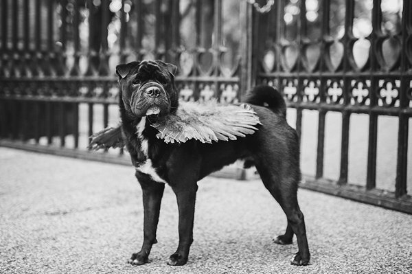 © Jenny Karlsson Photography | Daily Dog Tag | handsome-therapy-dog, Shar-Pei/Pug mix