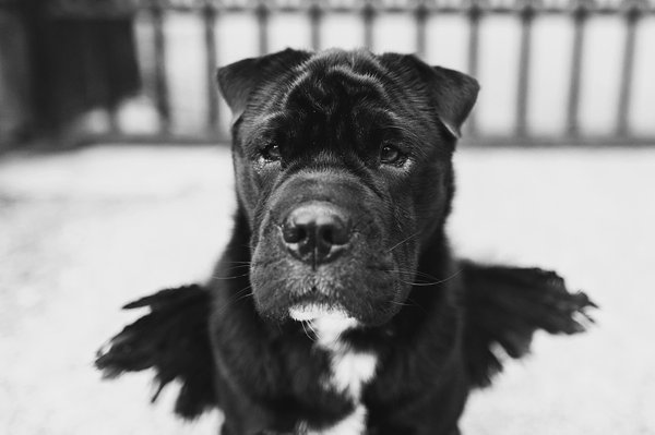 © Jenny Karlsson Photography | Daily Dog Tag | handsome-therapy-dog-with-wings