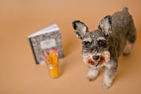 © April Ziegler Photography | Daily Dog Tag | Back-to-School-Boston-Miniature-Schnauzer