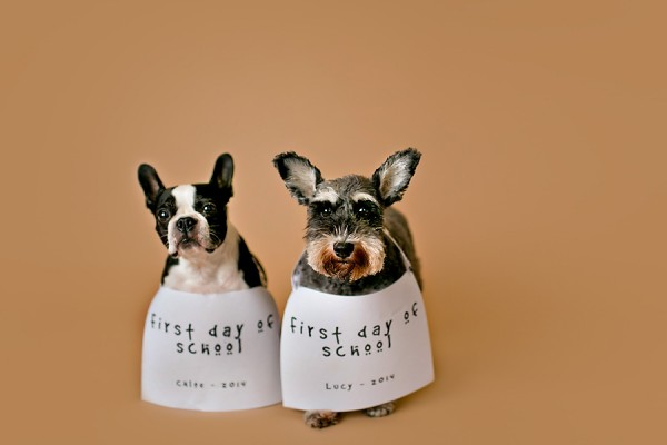 © April Ziegler Photography | Daily Dog Tag | Back-to-School-Boston-Terrier-Schnauzer-mug-shots