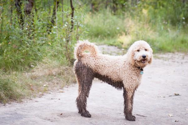 half muddy dog