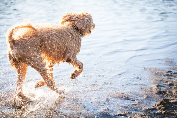 © Sit! Stay Pet Photography | Daily Dog Tag | Fluffy, handsome-Labradoodle-enjoying-water