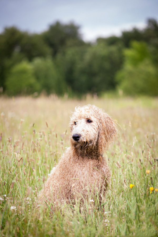 © Sit! Stay Pet Photography | Daily Dog Tag | wet, handsome-Labradoodle-in-field