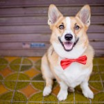 © Oeil Photography Corgi in bow-tie
