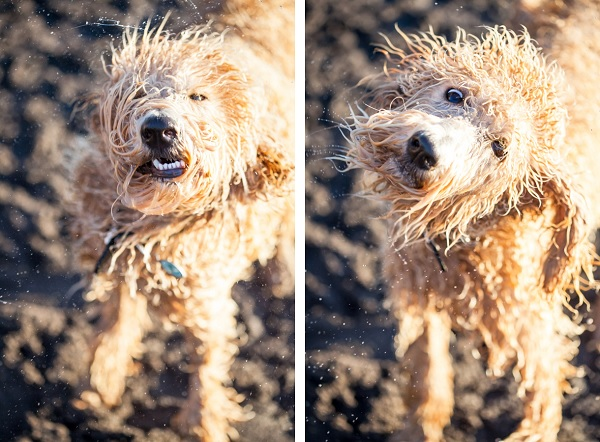 © Sit! Stay Pet Photography | Daily Dog Tag | wet-Labradoodle-shaking,