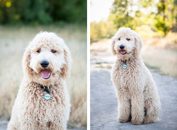 © Sit! Stay Pet Photography | Daily Dog Tag | Fluffy, handsome-Labradoodle