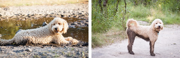 © Sit! Stay Pet Photography | Daily Dog Tag | Fluffy, handsome-Labradoodle-in-mud, mud-puppy
