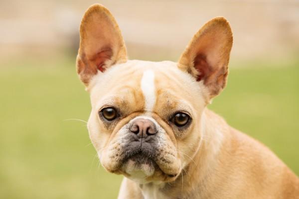 © Brandon Burk Photography   Daily Dog Tag   on-locatio-dog-photography, French-Bulldog