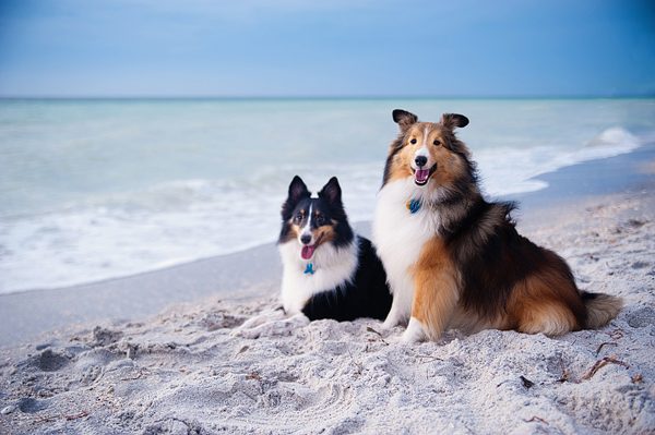 © Emilee Fuss Photography | Shelties on beach