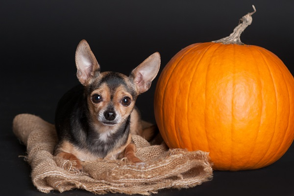 © Alice G Patterson, Syracuse dog photography, Chihuahua and pumpkin