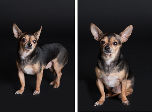 © Alice G Patterson, Syracuse dog photography, Chihuahua