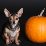 Halloween Dogs - Pumpkin Treats For Dogs