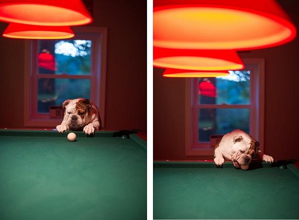 © Brittany Anderson Photography | English Bulldog playing pool