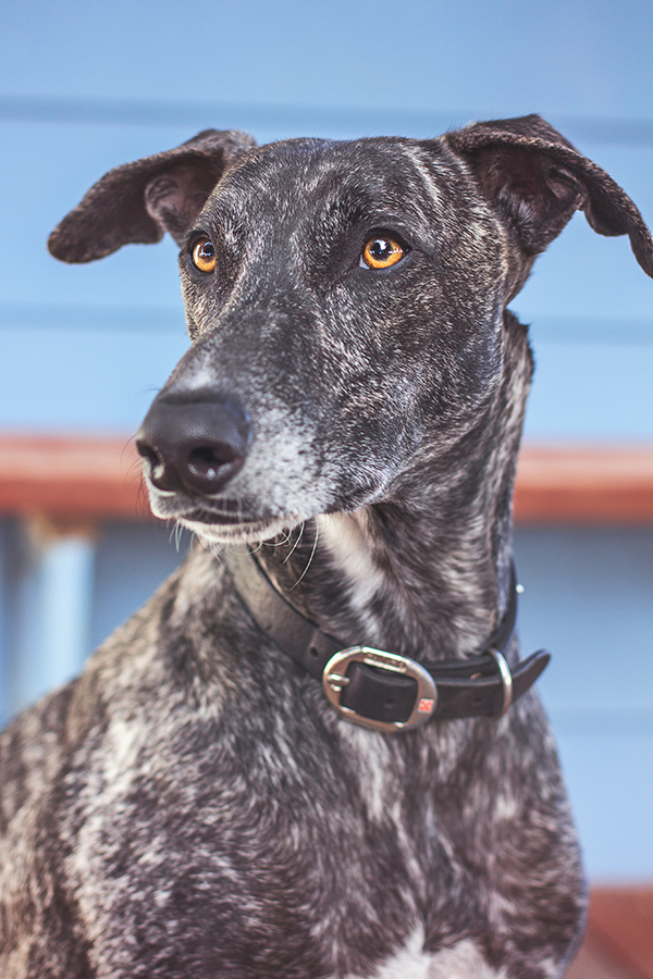 © 100 Loyal Faces Photography | Daily Dog Tag | Handsome-Greyhound-mix-with-amazing-eyes, brindle-coat