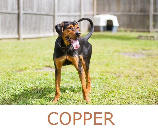 JessicaPainter-Adoptable-dog-Regional-Animal-ShelterCopper