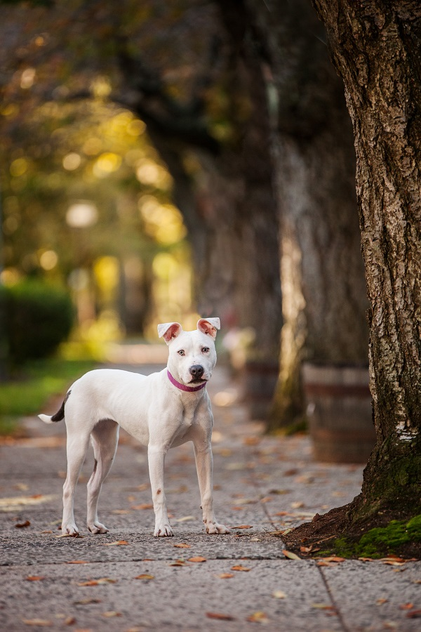 © Kathryn Schauer Photography | Adoptable Pit-bull, New Haven, CT. lifestyle-dog-photography