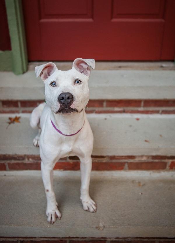 © Kathryn Schauer Photography | lifestyle-dog-photographer, adoptable-white-Pittie-puppy
