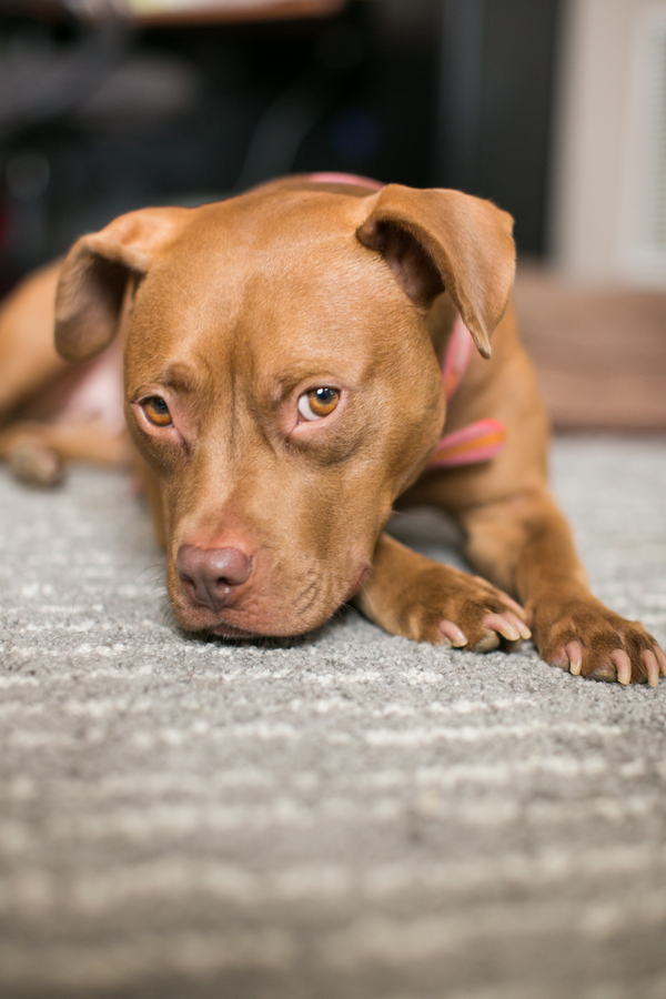 © tPoz Photography | photographer's foster dog up for adoption
