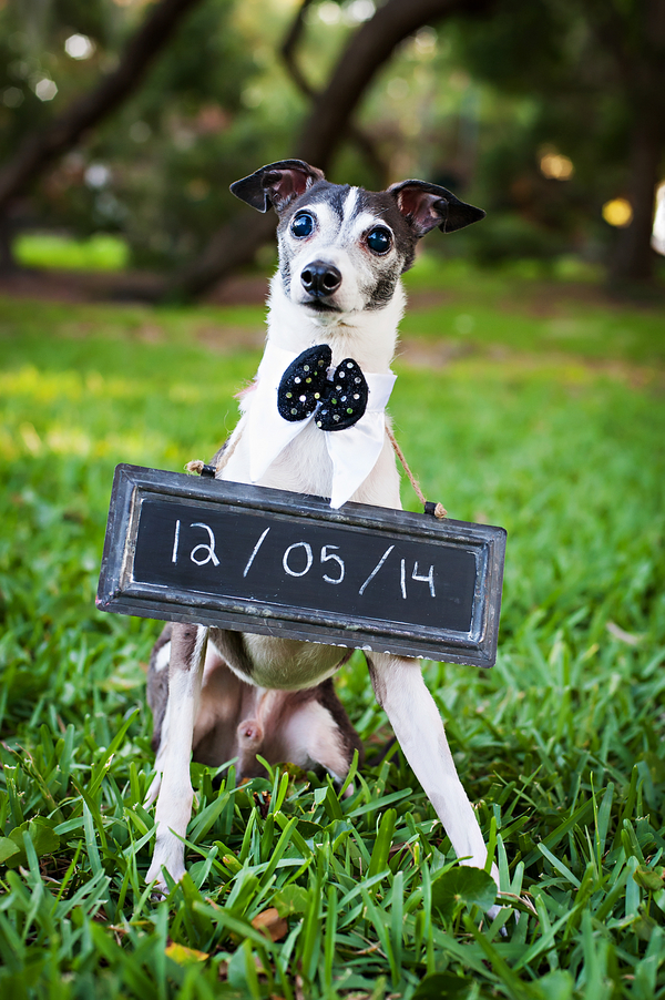 © Limelight Photography | Italian-Greyhound-save-the-date, dog-bow-tie