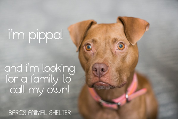 © tPoz Photography | adorable adoptable small Pit bull from BARCS
