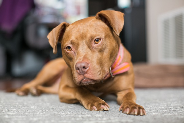 © tPoz Photography | adopt Pippa from Baltimore Animal Rescue Canine Shelter (BARCS)