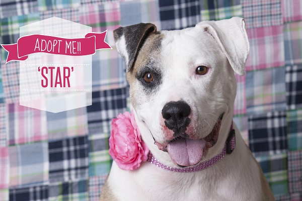 © Tangled Lilac Photography | adoptable American bulldog