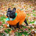 Frenchie-wearing-pumpkin-costume
