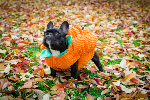 © Samantha Ong Photography | Daily Dog Tag |Frenchie-wearing-pumpkin-costume
