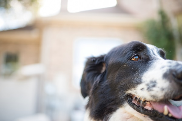 © Anna Smith Photography | Daily Dog Tag |Handsome Pyrenees/Border Collie mix, Texas dog photography