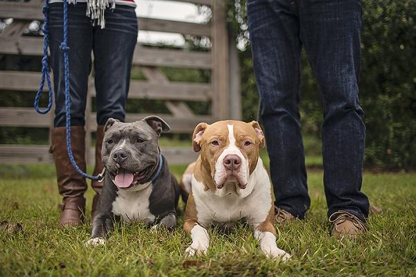 © Amanda NicoleMiller Photographer | family portrait session, handsome Pit bulls