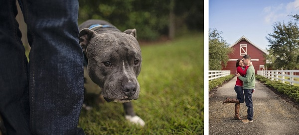 © Amanda Nicole Miller -Photographer | Blue nosed Pit bull, couples photo session