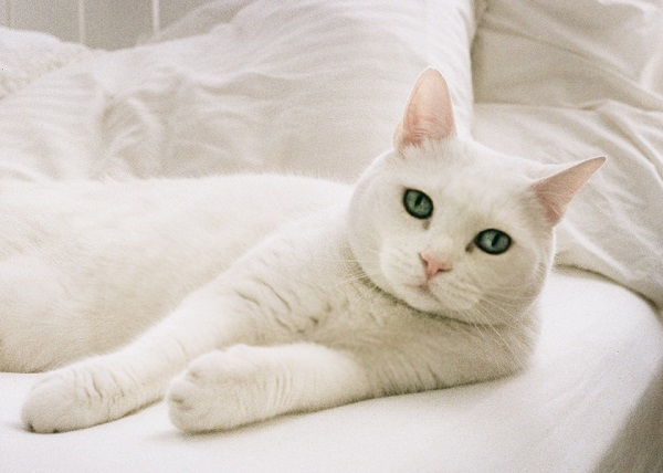 © Analog Wedding | professional cat photography, white cat with green eyes
