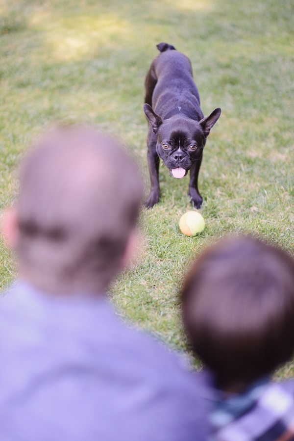 © Annie Tao Photography | Boston Terrier with ball and family, professional portraits of dog and family